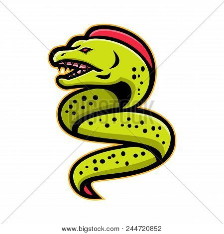 Mascot Icon Illustration Of An Angry Moray Eel Or Muraenidae With Pharyngeal Jaw Going Up Viewed Fro