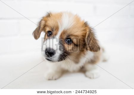 Cute Puppy Welsh Corgi Pembroke  Is Looking At Camera And Begging. Beautiful Puppy Dog On A White Ba