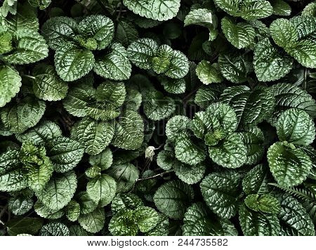 Fresh Green Peppermint Leaves On The Dark Background.dark Lighting Nature Foliage Background Of Mint
