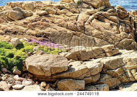 Wild Flowers Among The Rocks Pacific Ocean Asilomar State Marine Reserve Monterey California