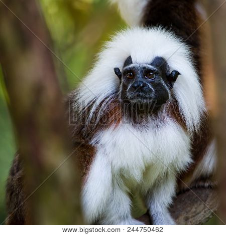 A Close Up Of A Cotton Top Tamarin Lookin Out From Behind Some Branches.