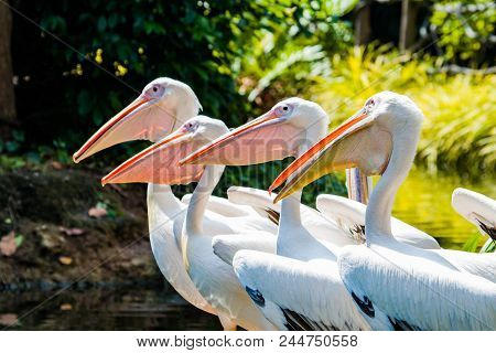 Great Whtie Pelican