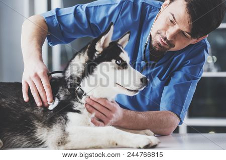 Young White Bearded Vet In Blue Robe Examines Siberian Husky At Reception In Vet Clinic.