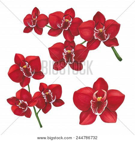 Red Orchid Flowers On A White Background. Sketch Done In Alcohol Markers. You Can Use For Greeting C