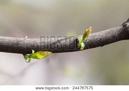 Simplicity Conceptual Photo. Beautiful Soft Tender Spring Tree Branch Green Leaf Buds. Shallow Depth