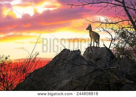 A solitary steenbok looks out from a rocky outcrop. Sunset in Kruger national park, South Africa.
