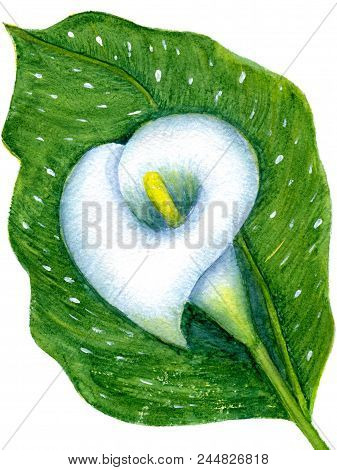 One White Calla On Leaf, Isolated On White Background. Hand-painted Watercolor Illustration And Pape