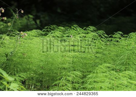Forest Horsetail On A Sunny Meadow2. Russia