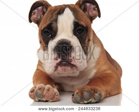 close up of sad brown english bulldog looking to side while lying on white background