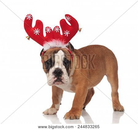 side view of cute english bulldog wearing red reindeer antlers while standing on white background