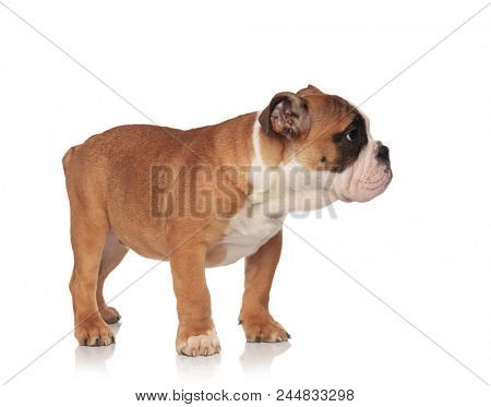 side view of small brown and white english bulldog standing on white background and looking to side