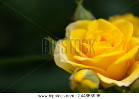 Yellow Rose Meaning Bright, Cheerful And Joyful Create Warm Feelings And Provide Happiness. They Bri