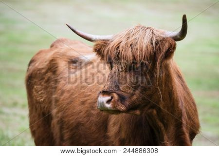 Brown cow on pasture in Norway
