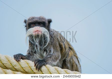 An Emperor Tamarin Sitting On A Rope (saguinus Imperator)