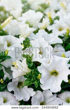 Closeup od white petunia flowers in the sun