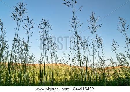 Tall grass silhouette against Colorado foothills landscape, late spring scenery
