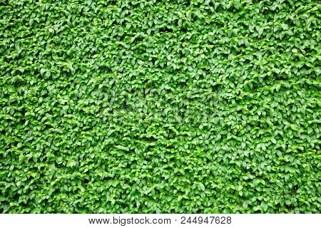 Wall covered by climbing plant leaves natural texture background