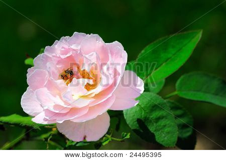 Bee on a rose.