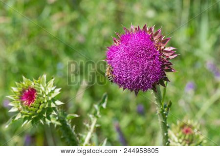 Field Of Thistles (cirsium) At Start Of Flowering Time In Ukraine