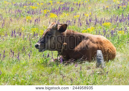 Cute Young Bull-calf Resting While Chained On Summer Flowering Meadow