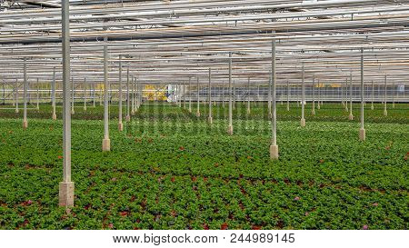 Industrial Greenhouse With Rows Of Green Cultivation.