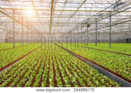 Industrial Greenhouse With Rows Of Cultivation And Sunshine