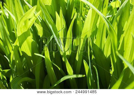 Young Leaves Of Grass, Illuminated By Sunlight -abstract Background