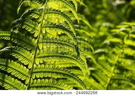 Young Fern Leaves Illuminated By Sunlight - Nature Background