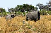 African Elephant Loxodonta africana in teh savannah East Africa poster