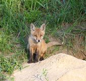 Red Fox ( Vulpes vulpes ) near the hole. poster