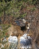 Deer in Colorado hills staring at camera ears upright and alert poster