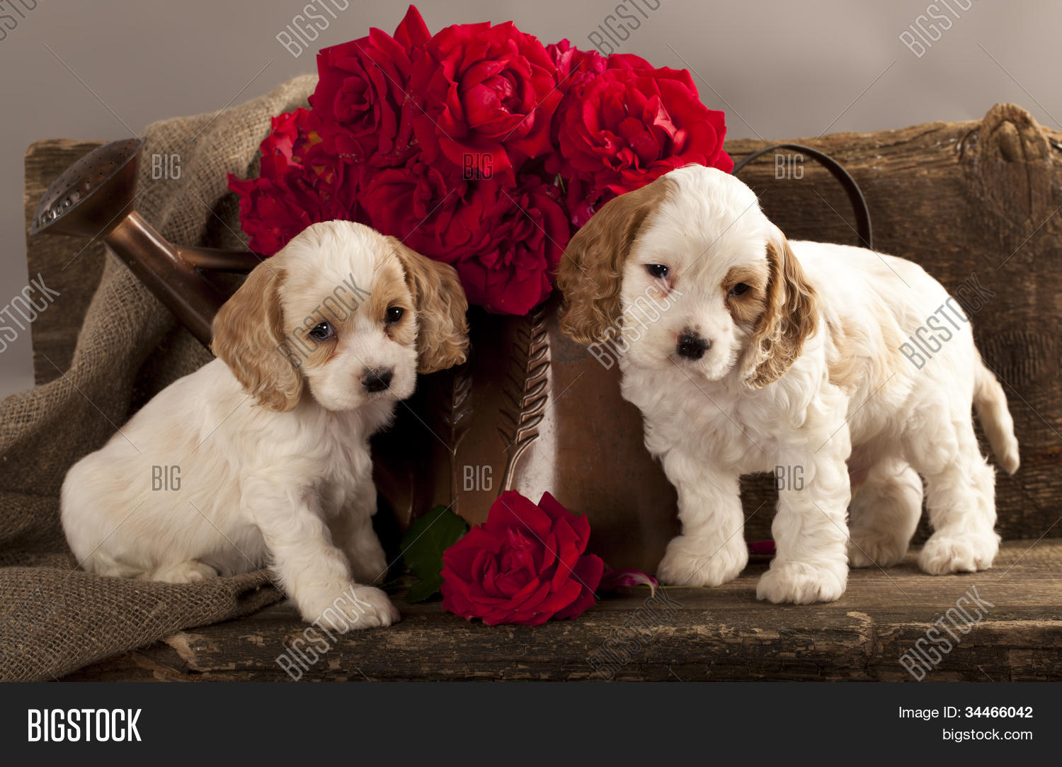 Cocker Spaniel Puppies Image Photo Free Trial Bigstock