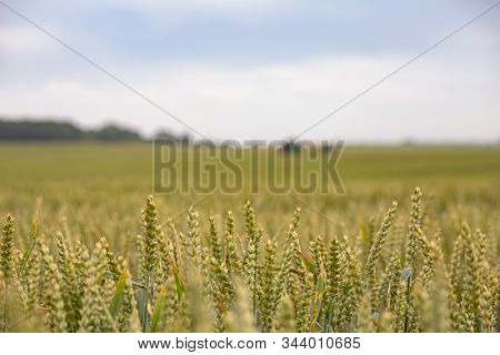 Green And Yellow Wheat On A Grain Field In Spring