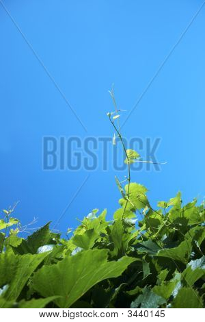 Grape leaves against a backdrop of blue sky poster