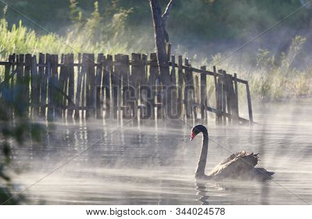 Swan Swimming In The Mist Floating On The Water In Winter, Pang Oung, Mae Hong Sonn, Thailand.