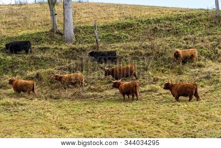 Herd Of Scotland Highlands Cows, Also Called Long-haired Highland Cattle