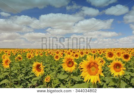 The Field Of Blossoming Sunflowers (helianthus). Alentejo. Portugal.
