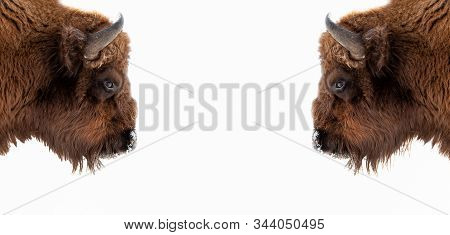 Two Brown Bull Or Bison Heads With Brown Horns Opposite Each Other Before A Fight On The New York Wa