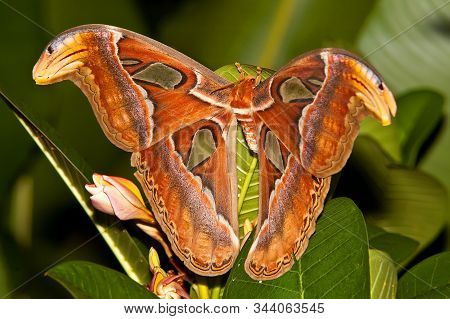 Night Butterfly Atlas Moth Or Attacus Atlas The Biggest Butterfly, Thailand.