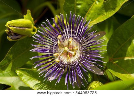 Passiflora Incarnata, Commonly Purple Passionflower Is A Fast Growing Perennial Vine. Known As Krish