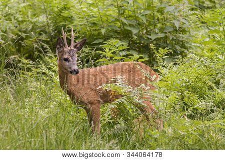 European Roe Deer (capreolus Capreolus) Buck Standing Amongst Vegetation In Tatrzanski National Park