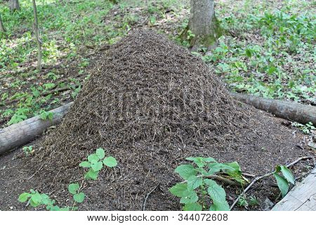 Big Anthill With Colony Of Ants In Forest. Ants On The Ant Hill In The Woods Closeup, Macro