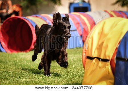 Black Coated Retriever In Agility Tunel On Ratenice Competition. Amazing Day On Czech Agility Compet