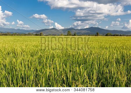 Rice Field In Thailand. Beautiful Scenery Of A Green Rice Field. Rural Landscape With Hills On The H