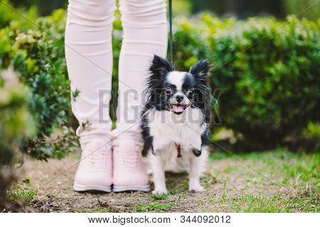 Dog Sitting At Owners Feet. Close Up Of Chihuahua Dog. Chihuahua Dog Guards The Owner. Female Legs A