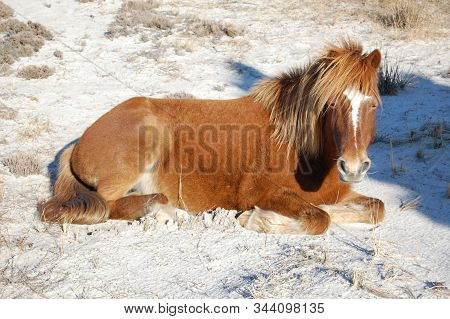 Wild Horse Resting In The Cool Sand On Assateague Island In Maryland.