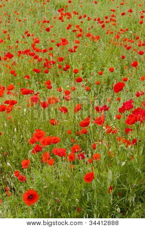 meadow of red poppies, Rh�´ne-Alpes, France