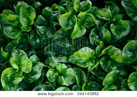 Watercress Growing In The Garden Plant Green Leaf Texture Background / Fresh Watercress For Salad An