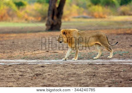 The Southern Lion (panthera Leo Melanochaita) Or Eastern-southern African Lion. A Large Very Blond D