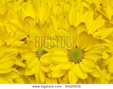 Yellow chrysanthemum flowers background